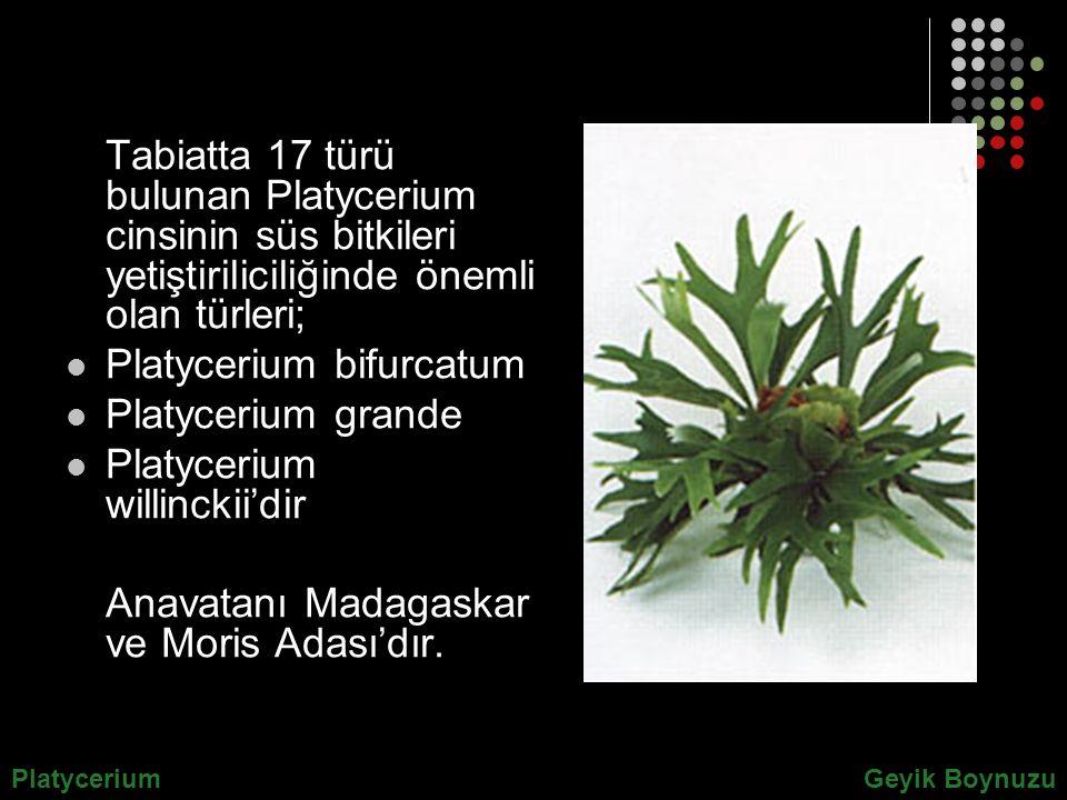Platycerium bifurcatum Platycerium grande Platycerium willinckii'dir