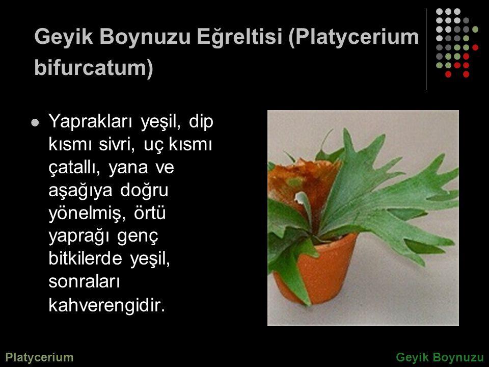 Geyik Boynuzu Eğreltisi (Platycerium bifurcatum)
