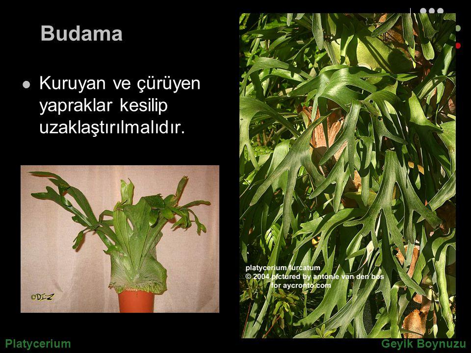Budama Kuruyan ve çürüyen yapraklar kesilip uzaklaştırılmalıdır.