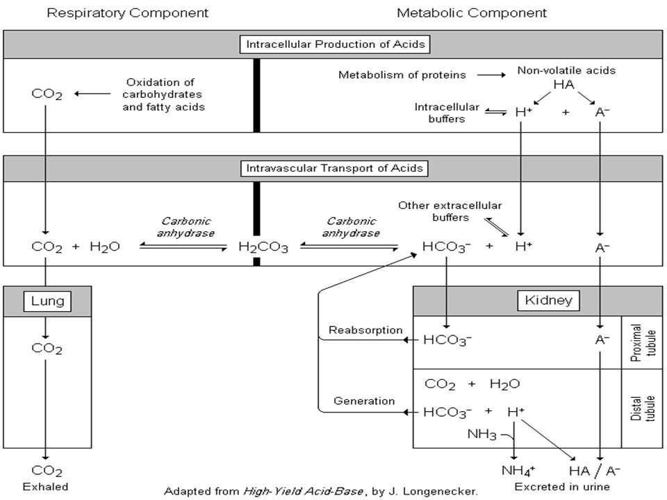 Overview of Acid-Base Physiology