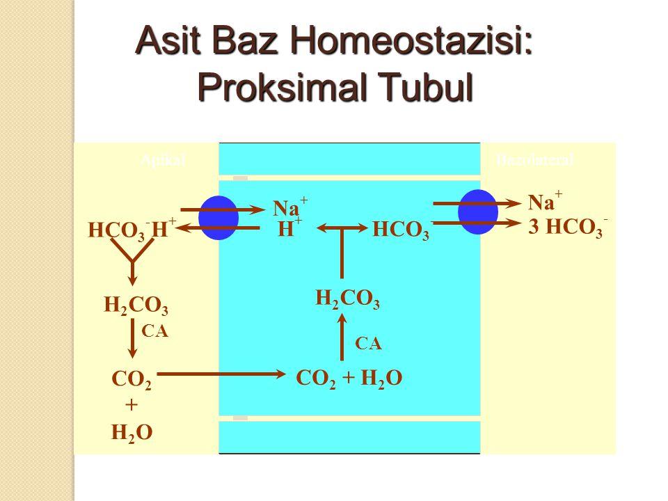 Asit Baz Homeostazisi: Proksimal Tubul