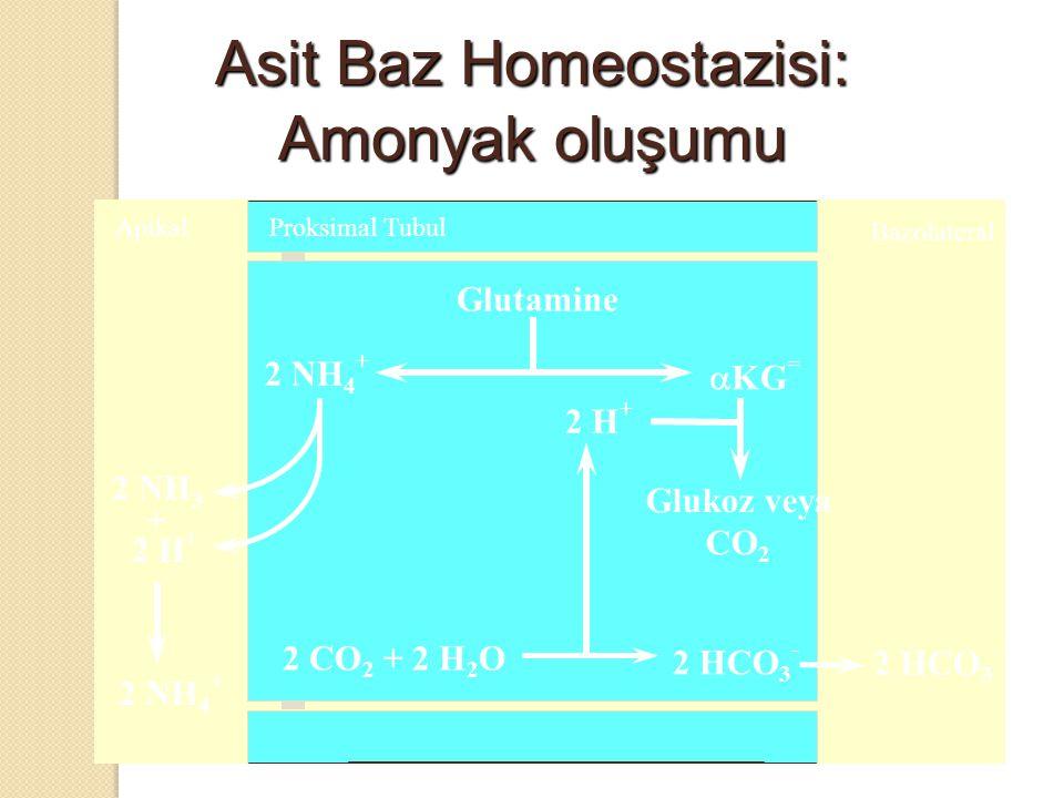 Asit Baz Homeostazisi: Amonyak oluşumu
