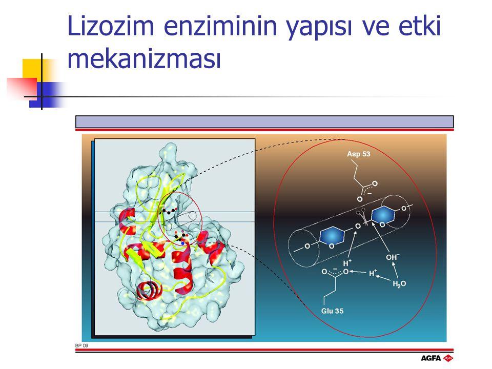 Lizozim enziminin yapısı ve etki mekanizması