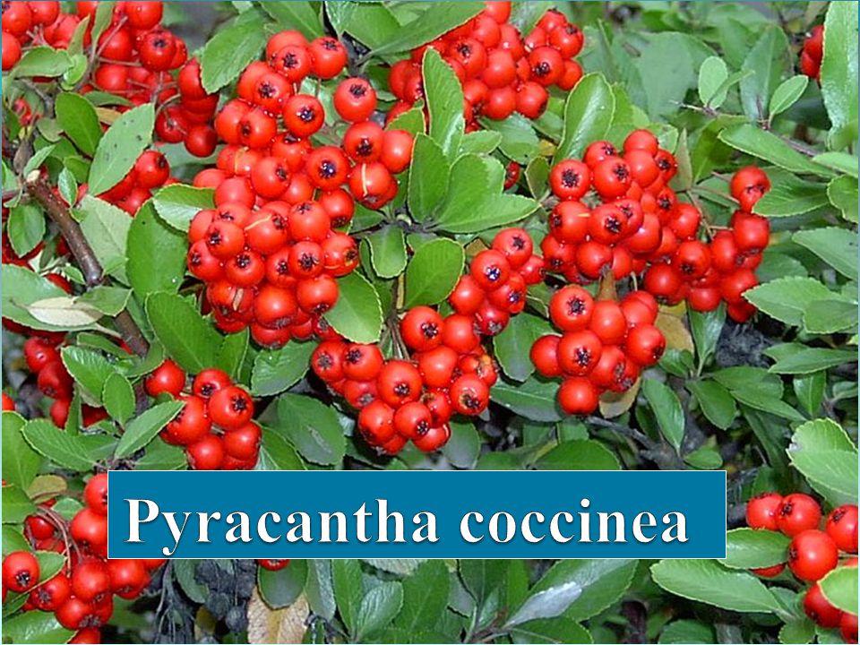 PYRACANTHA COCCİNEA Pyracantha coccinea