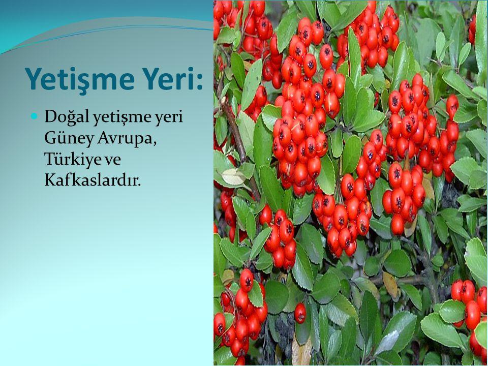 Yetişme Yeri: Doğal yetişme yeri Güney Avrupa, Türkiye ve Kafkaslardır.
