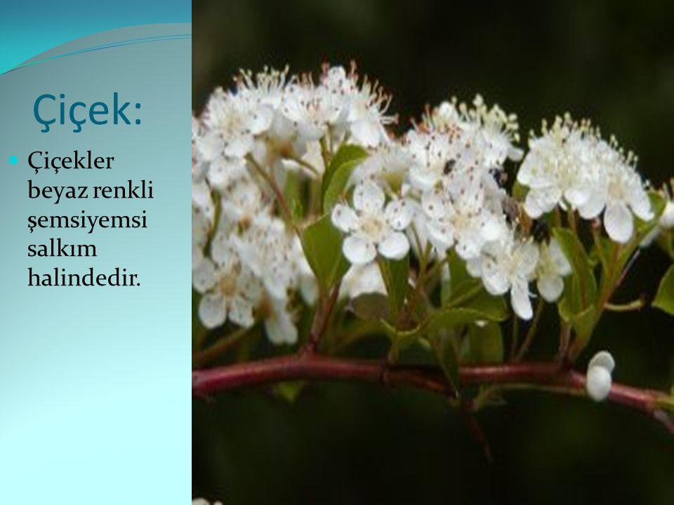 Çiçek: Çiçekler beyaz renkli şemsiyemsi salkım halindedir.