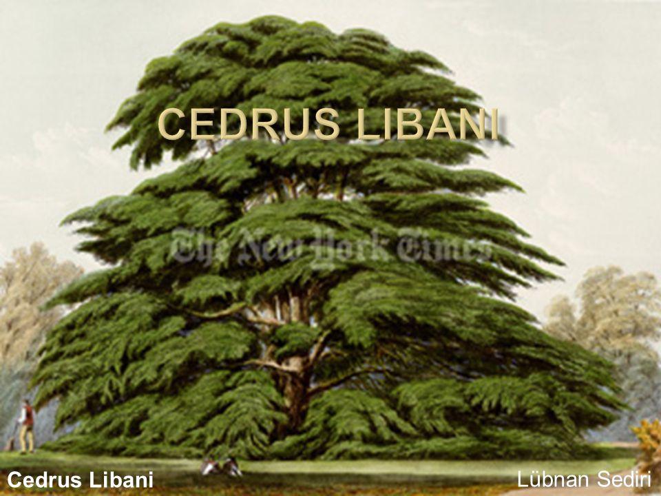 cedrus LIbani Cedrus Libani Lübnan Sediri