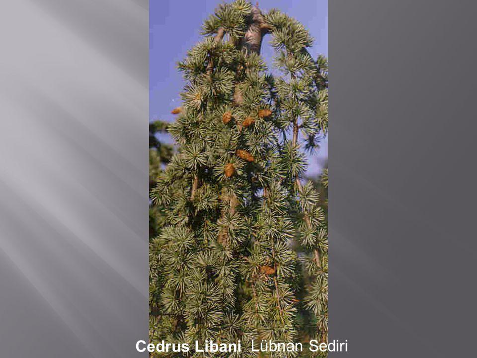 Cedrus Libani Lübnan Sediri