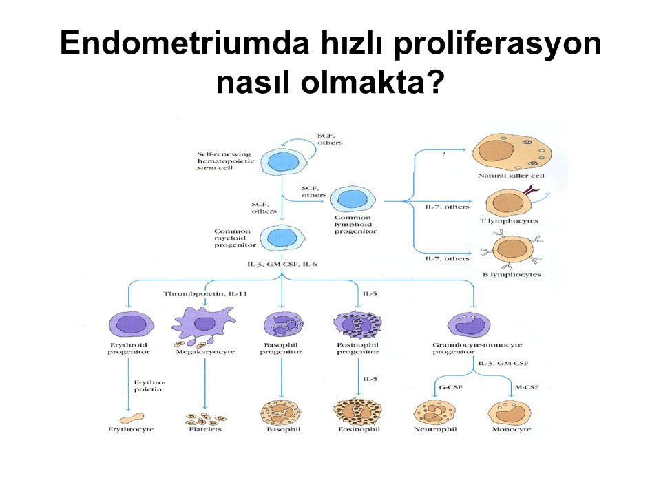 Endometriumda hızlı proliferasyon nasıl olmakta