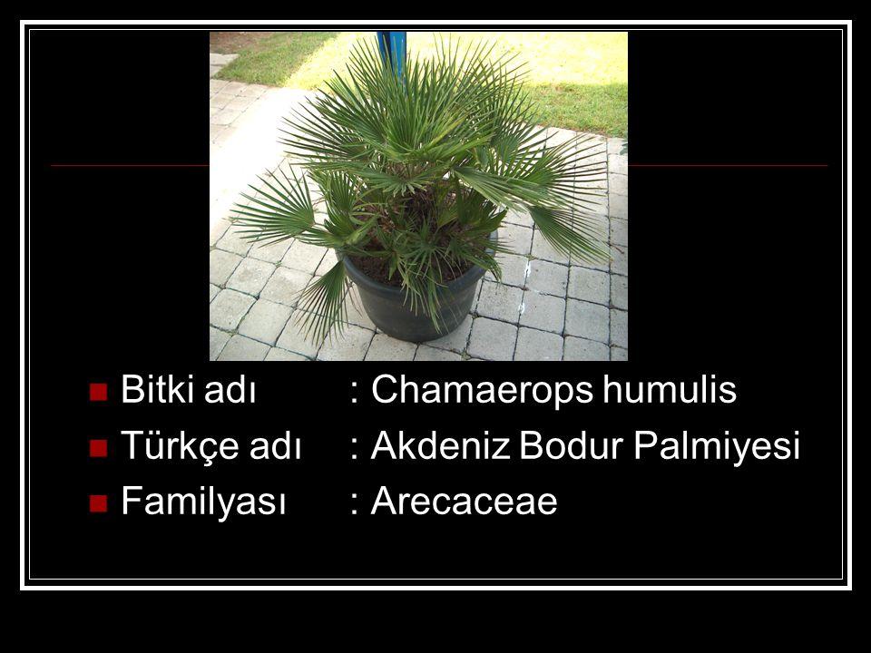Bitki adı : Chamaerops humulis