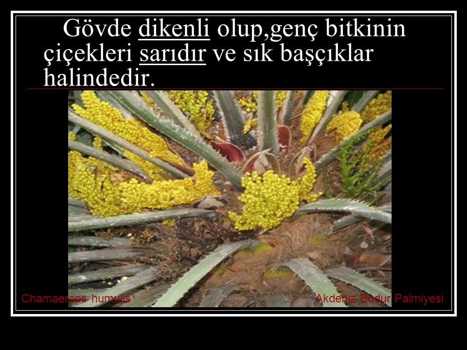 Gövde dikenli olup,genç bitkinin çiçekleri sarıdır ve sık başçıklar halindedir.