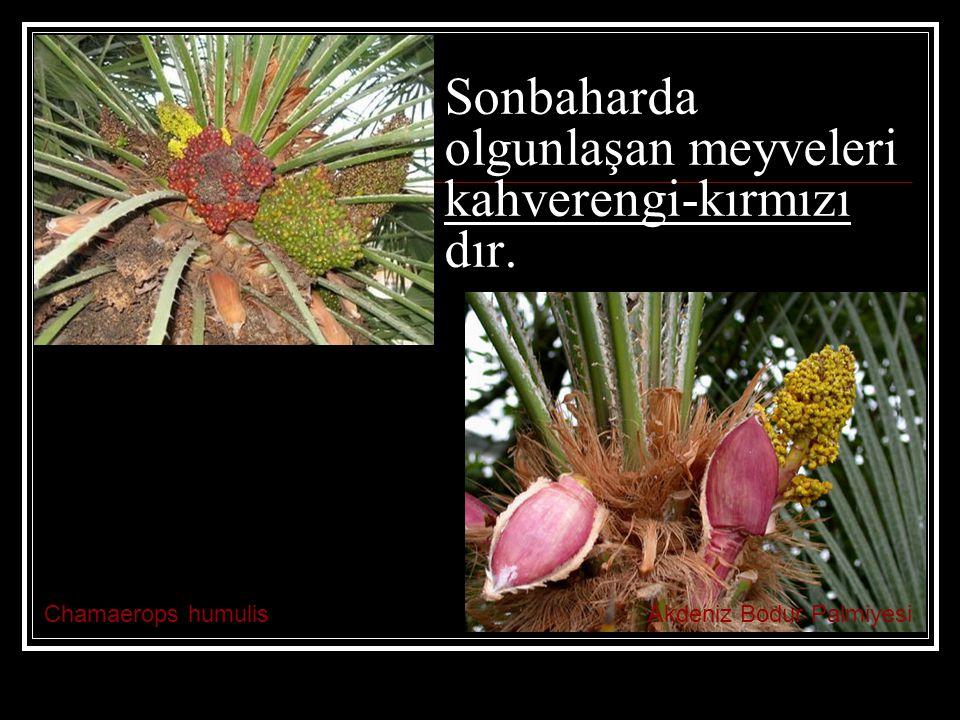 Sonbaharda olgunlaşan meyveleri kahverengi-kırmızı dır.