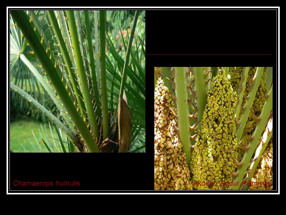 Chamaerops humulis Akdeniz Bodur Palmiyesi