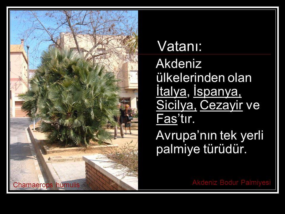 Vatanı: Akdeniz ülkelerinden olan İtalya, İspanya, Sicilya, Cezayir ve Fas'tır. Avrupa'nın tek yerli palmiye türüdür.