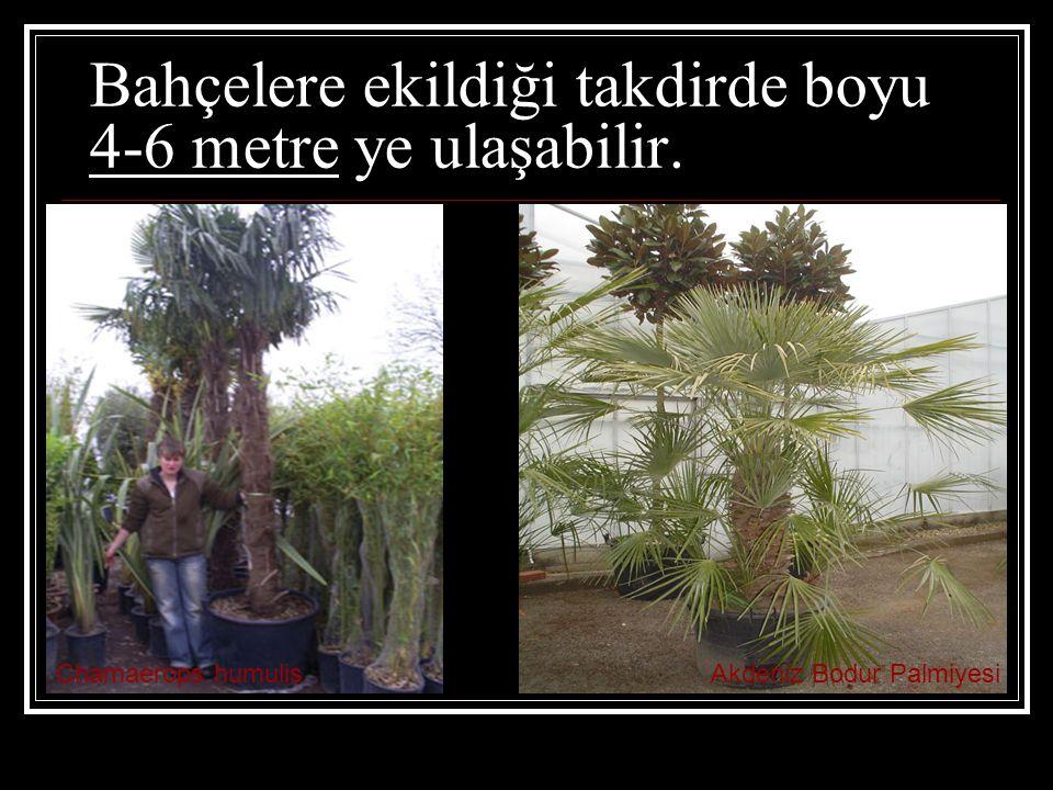 Bahçelere ekildiği takdirde boyu 4-6 metre ye ulaşabilir.