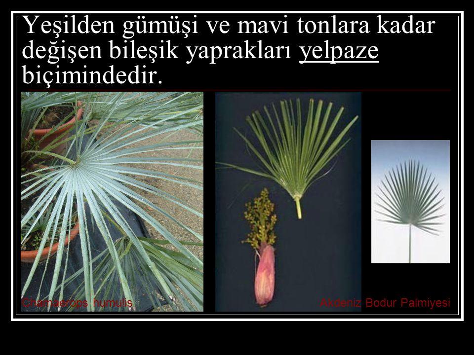 Yeşilden gümüşi ve mavi tonlara kadar değişen bileşik yaprakları yelpaze biçimindedir.