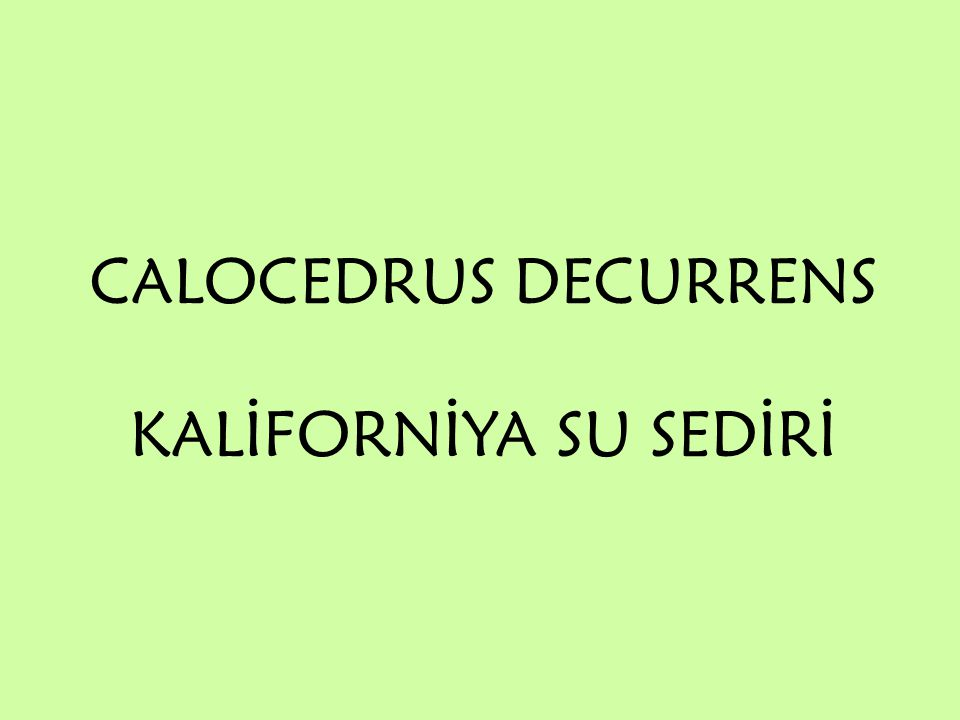 CALOCEDRUS DECURRENS KALİFORNİYA SU SEDİRİ