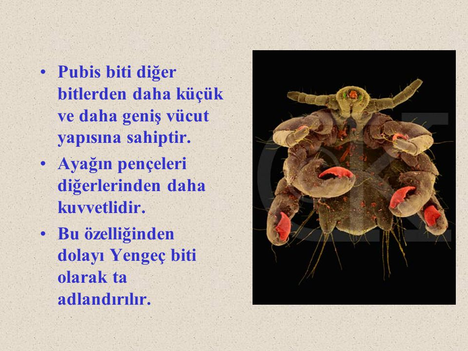 Pubis biti diğer bitlerden daha küçük ve daha geniş vücut yapısına sahiptir.