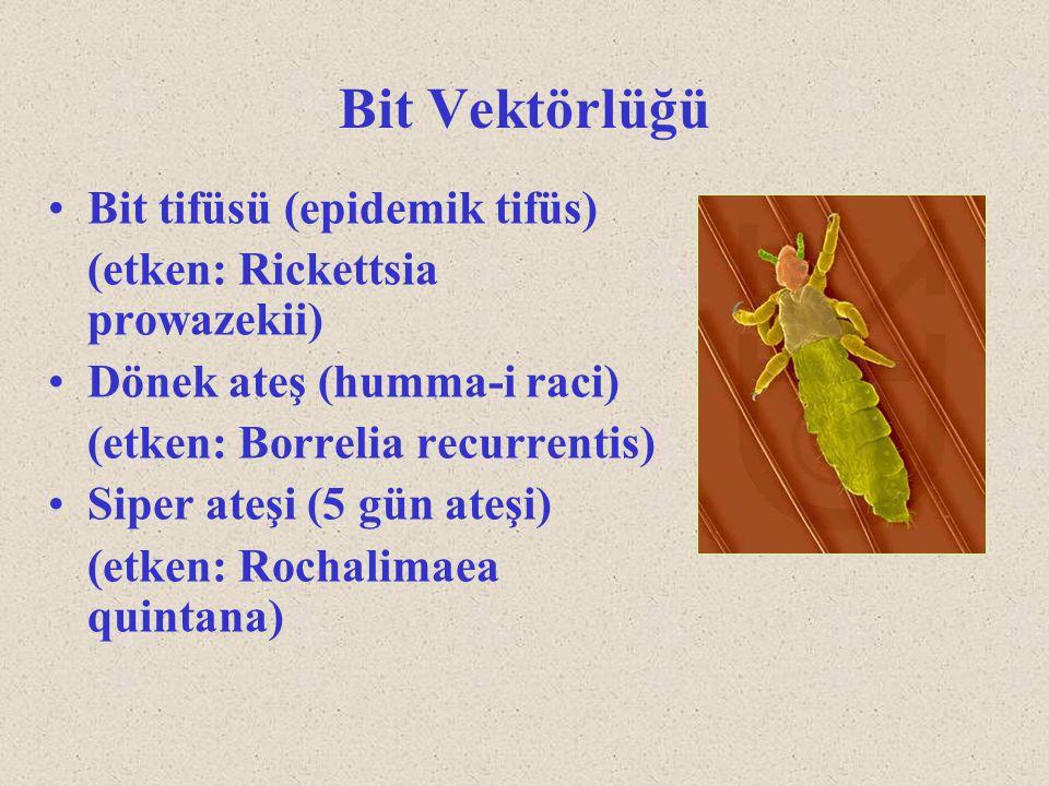Bit Vektörlüğü Bit tifüsü (epidemik tifüs)