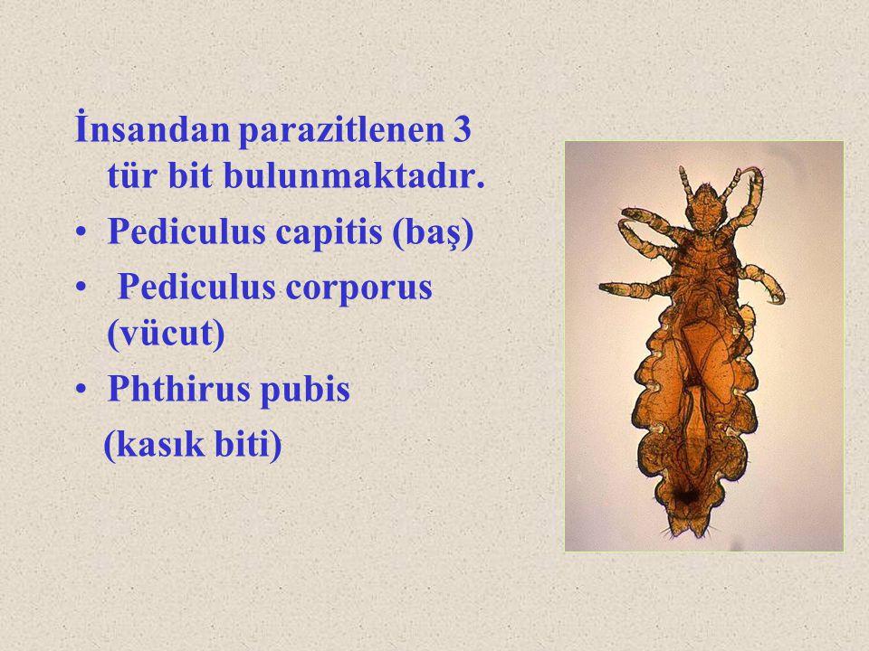 İnsandan parazitlenen 3 tür bit bulunmaktadır.