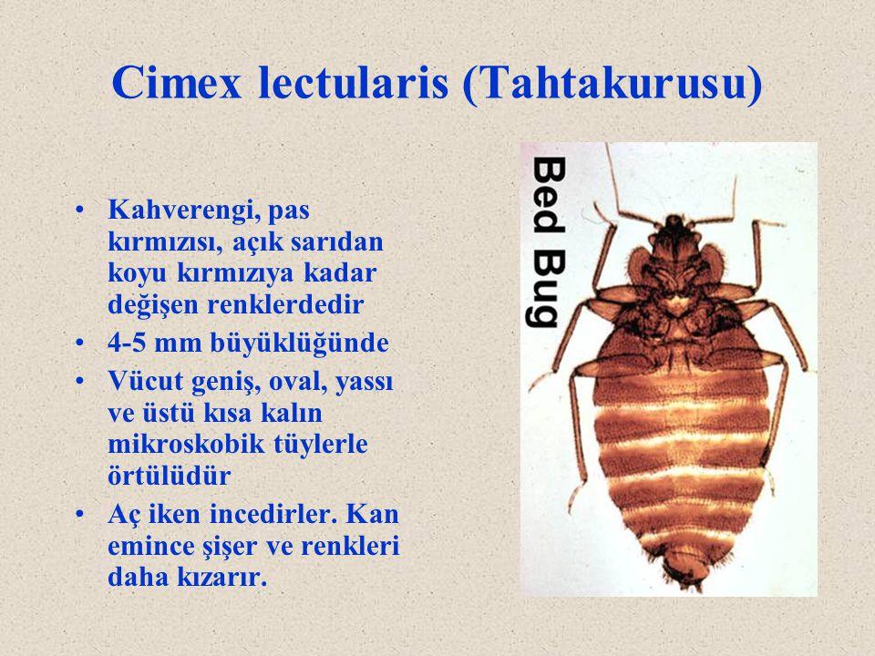 Cimex lectularis (Tahtakurusu)