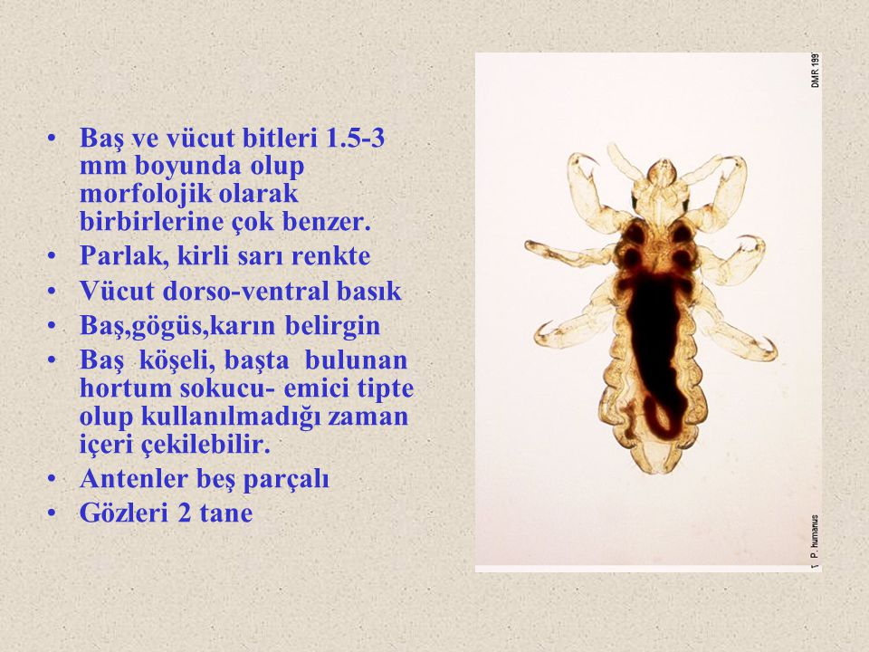 Baş ve vücut bitleri 1.5-3 mm boyunda olup morfolojik olarak birbirlerine çok benzer.