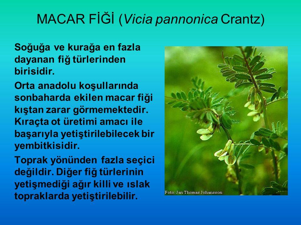 MACAR FİĞİ (Vicia pannonica Crantz)