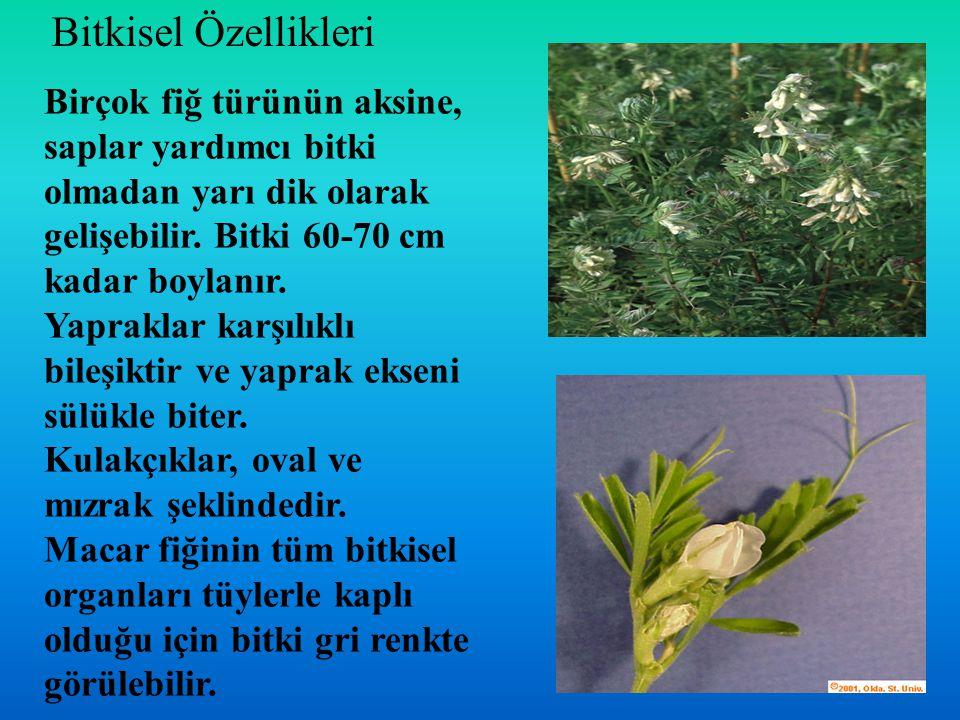 Bitkisel Özellikleri Birçok fiğ türünün aksine, saplar yardımcı bitki olmadan yarı dik olarak gelişebilir. Bitki 60-70 cm kadar boylanır.