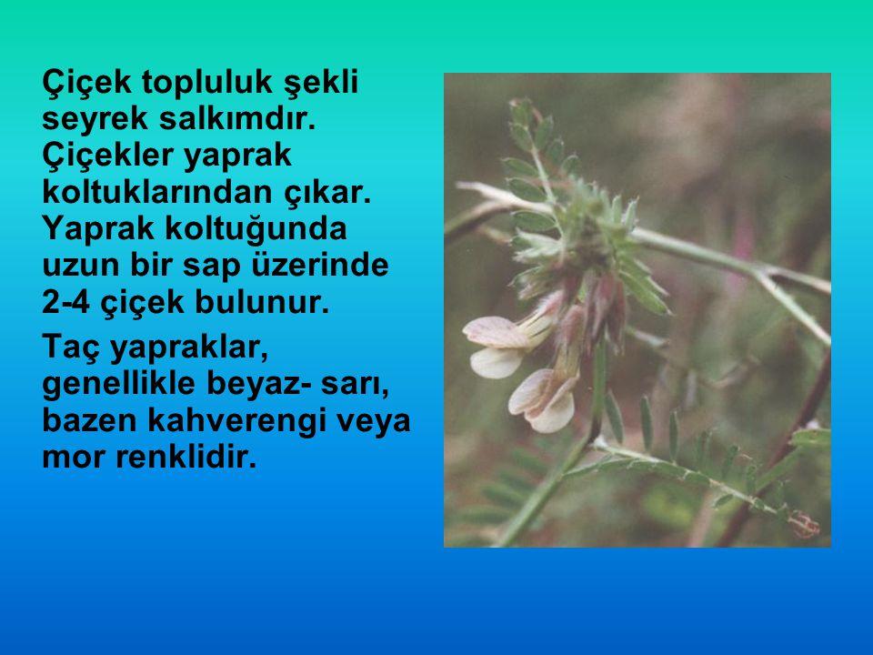 Çiçek topluluk şekli seyrek salkımdır
