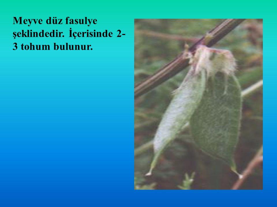 Meyve düz fasulye şeklindedir. İçerisinde 2-3 tohum bulunur.