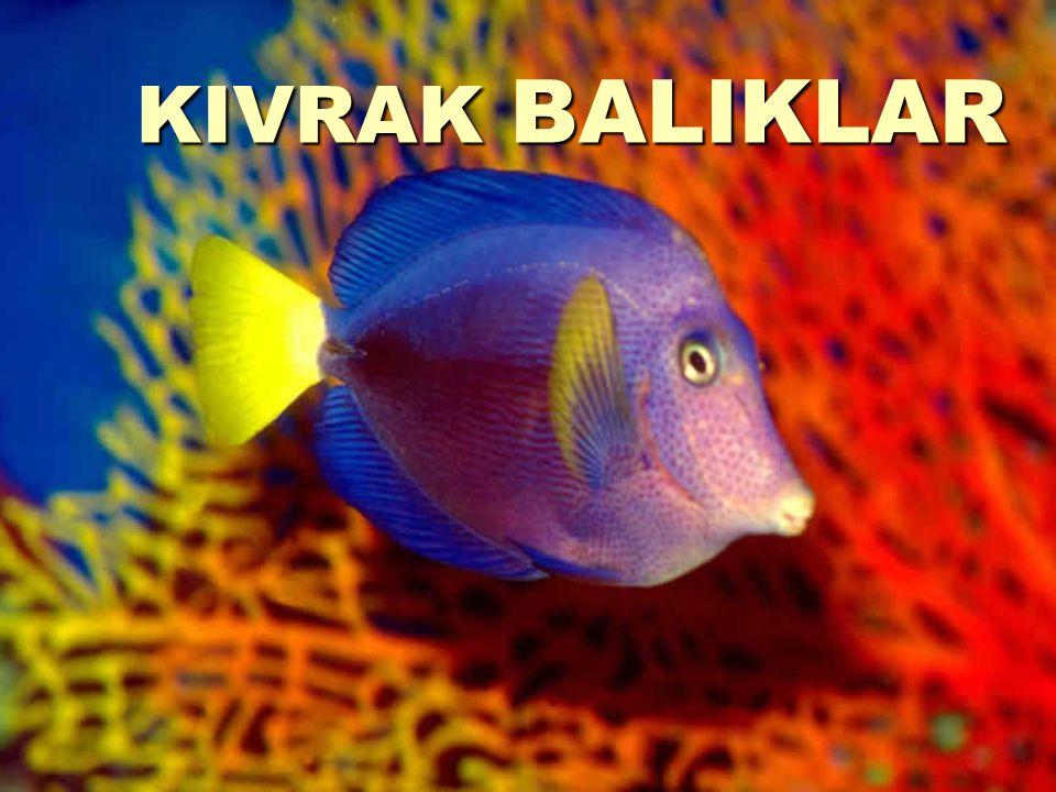 KIVRAK BALIKLAR