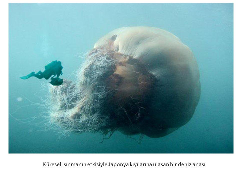 Küresel ısınmanın etkisiyle Japonya kıyılarına ulaşan bir deniz anası