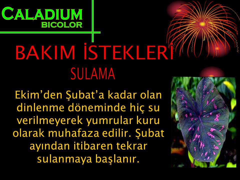 Caladium BICOLOR BAKIM İSTEKLERİ SULAMA