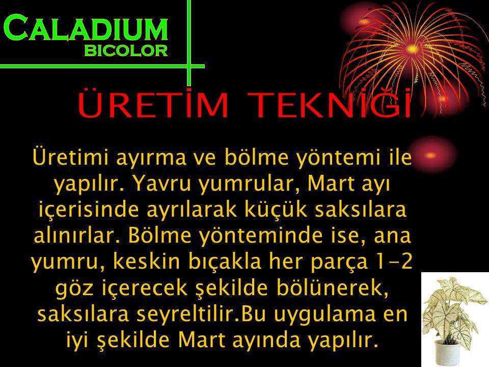 Caladium BICOLOR ÜRETİM TEKNİĞİ