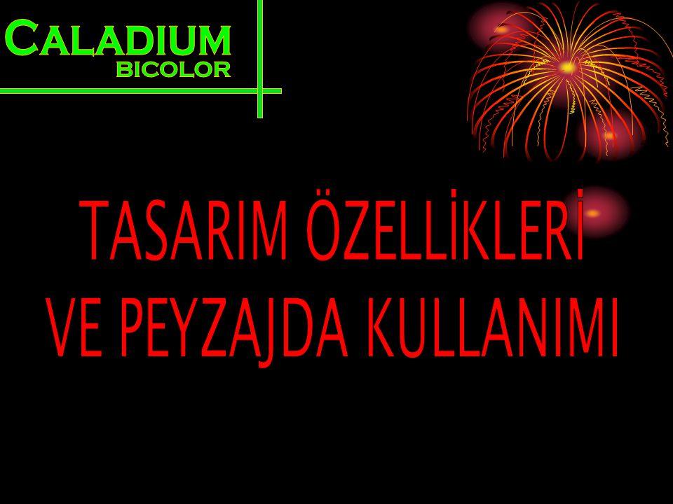 Caladium BICOLOR TASARIM ÖZELLİKLERİ VE PEYZAJDA KULLANIMI