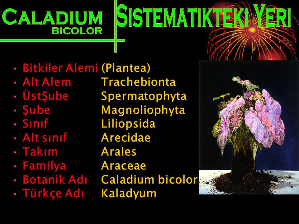 Sistematikteki Yeri Caladium BICOLOR Bitkiler Alemi (Plantea)