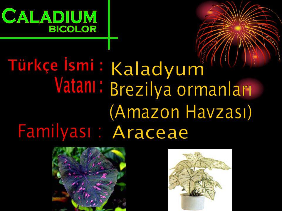 Caladium BICOLOR. Türkçe İsmi : Kaladyum. Vatanı : Brezilya ormanları. (Amazon Havzası) Familyası :