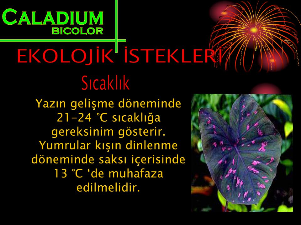Caladium BICOLOR EKOLOJİK İSTEKLERİ Sıcaklık