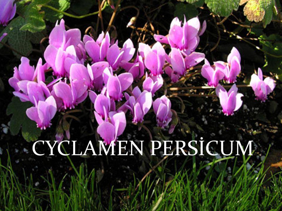CYCLAMEN PERSİCUM