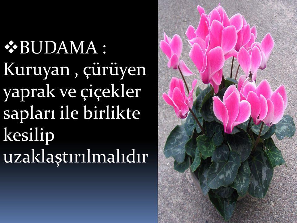 BUDAMA : Kuruyan , çürüyen yaprak ve çiçekler sapları ile birlikte kesilip uzaklaştırılmalıdır