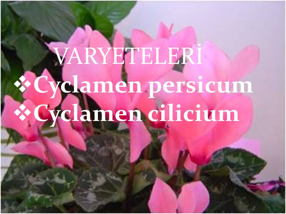 VARYETELERİ Cyclamen persicum Cyclamen cilicium VARYETELERİ