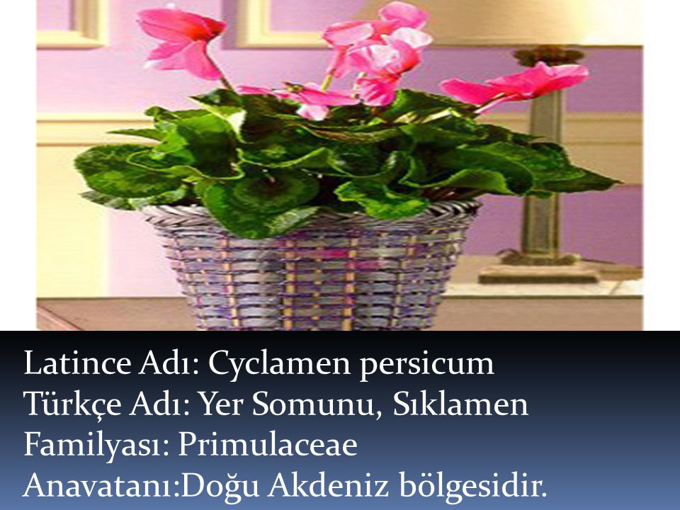 Latince Adı: Cyclamen persicum