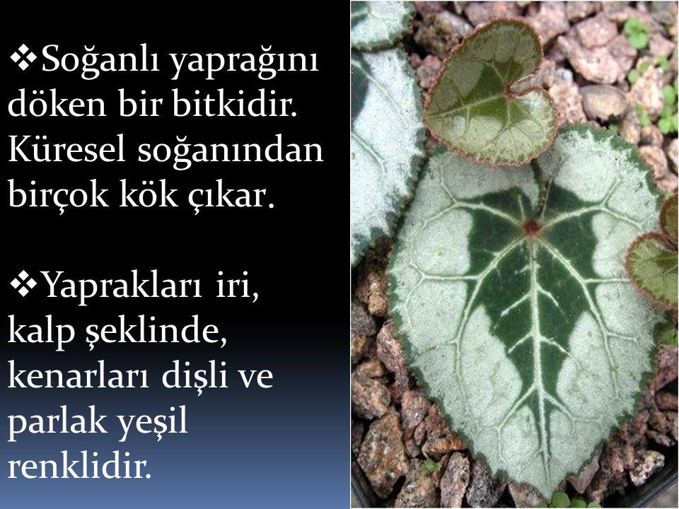 Soğanlı yaprağını döken bir bitkidir