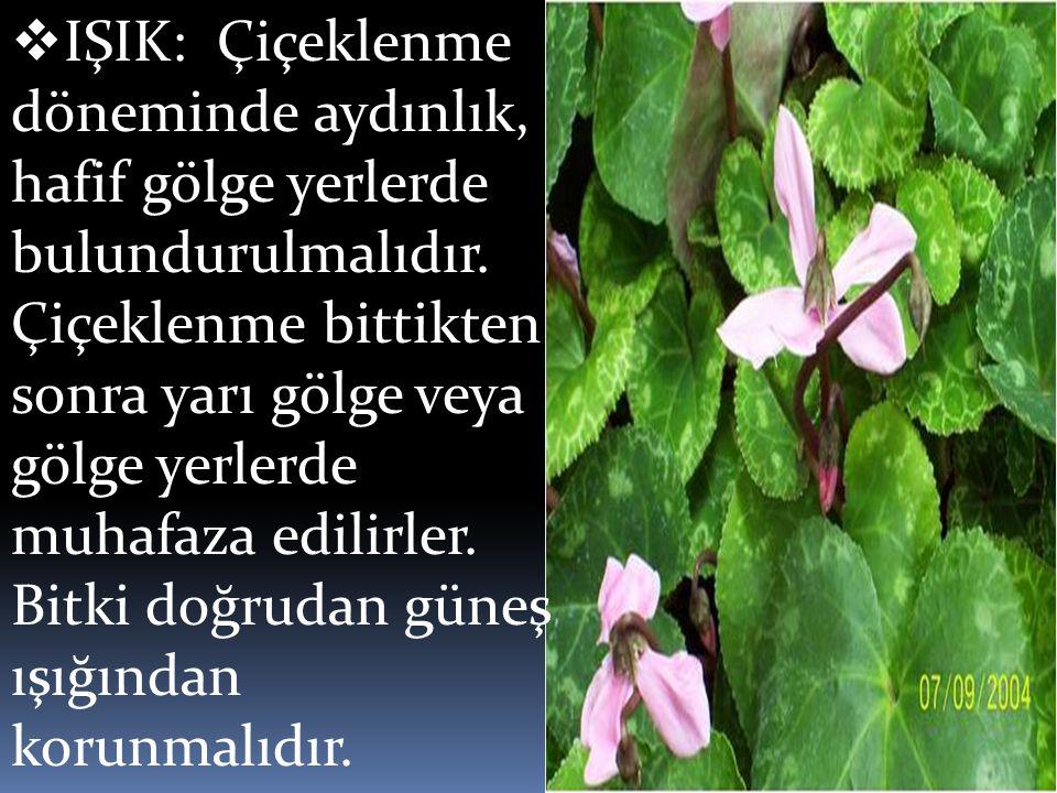 IŞIK: Çiçeklenme döneminde aydınlık, hafif gölge yerlerde bulundurulmalıdır.