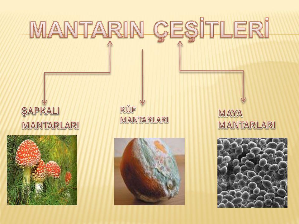 MANTARIN ÇEŞİTLERİ ŞAPKALI MANTARLARI KÜF MANTARLARI MAYA MANTARLARI