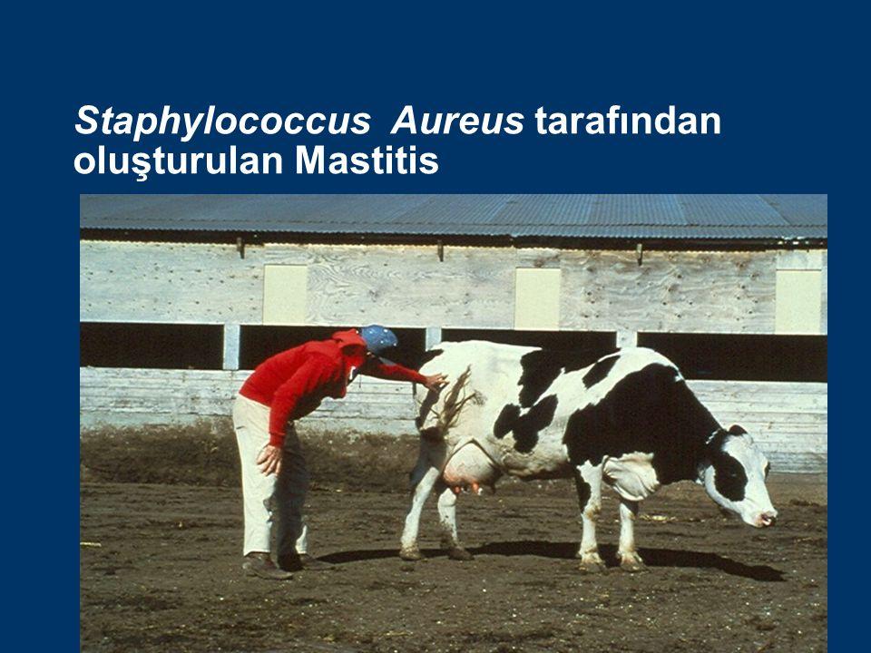 Staphylococcus Aureus tarafından oluşturulan Mastitis