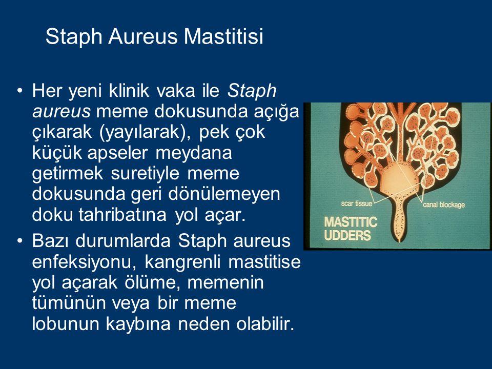 Staph Aureus Mastitisi