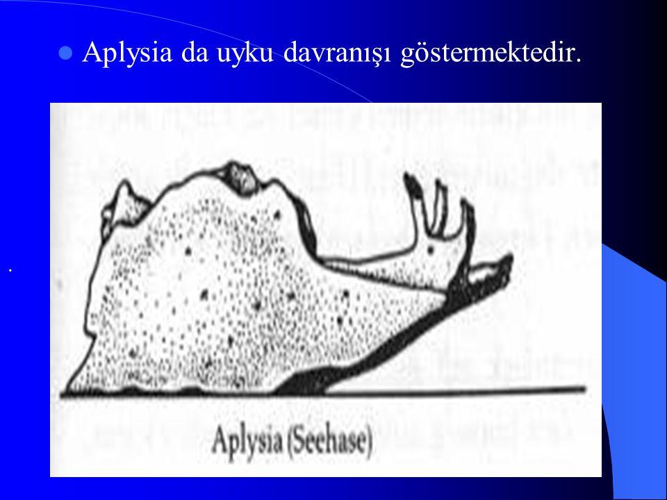 Aplysia da uyku davranışı göstermektedir.