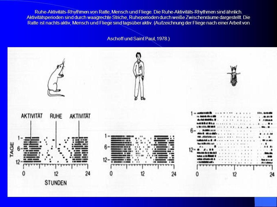 Ruhe-Aktivitäts-Rhythmen von Ratte, Mensch und Fliege