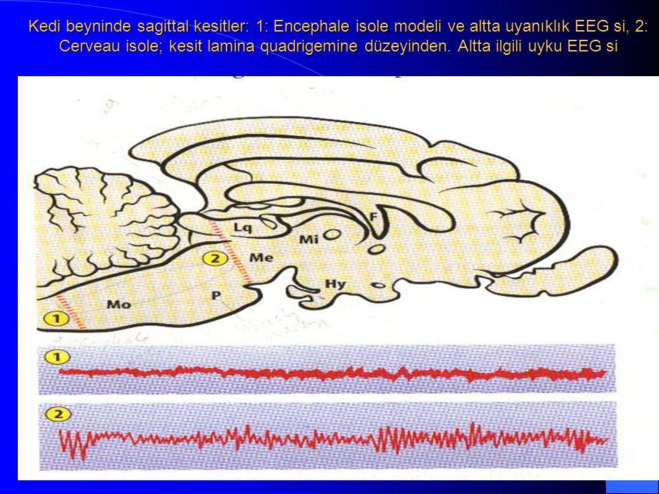 Kedi beyninde sagittal kesitler: 1: Encephale isole modeli ve altta uyanıklık EEG si, 2: Cerveau isole; kesit lamina quadrigemine düzeyinden.